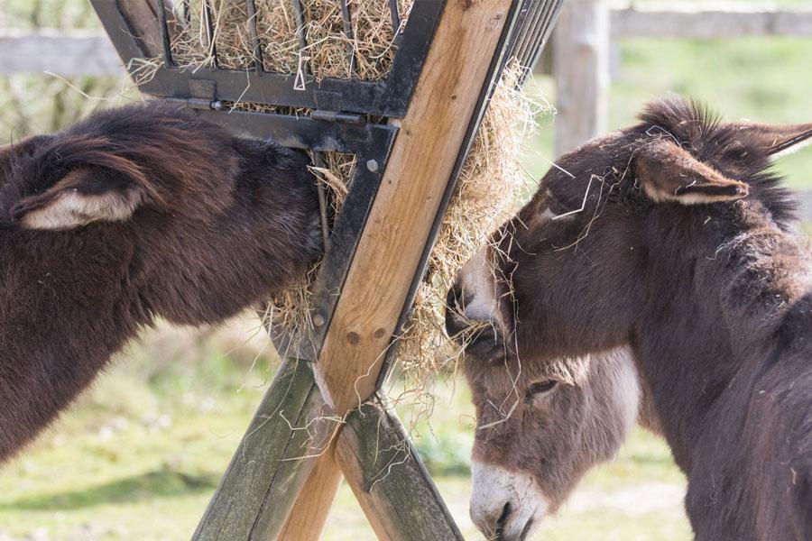 Tierschutz für Esel   Karin von Grumme-Douglas Stiftung   kvgd-stiftung.de