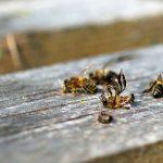 Gegen das Bienensterben - so geht effizienter Tierschutz - Unser Blog rund um die Themen Tierschutz, Tierrechte und Soforthilfe !