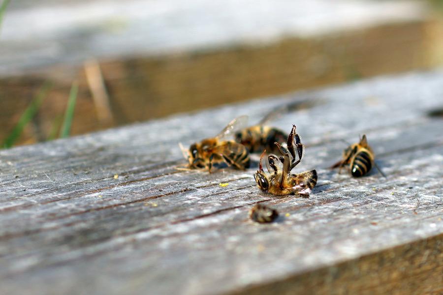 Gegen das Bienensterben – so geht effizienter Tierschutz