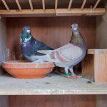 Brieftauben | Unser Blog rund um die Themen Tierschutz, Tierrechte und Soforthilfe !