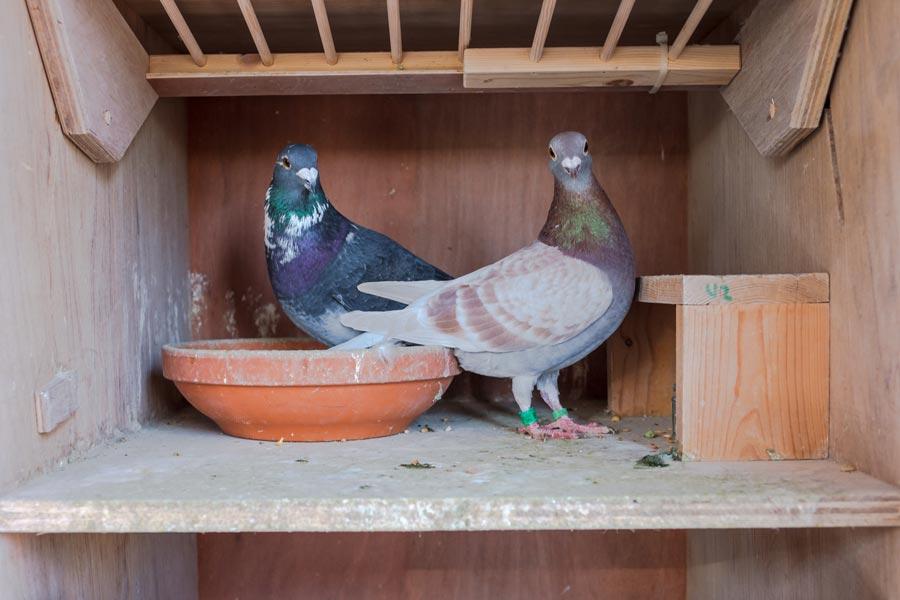 Tauben – erlaubtes Töten intelligenter Lebensretter
