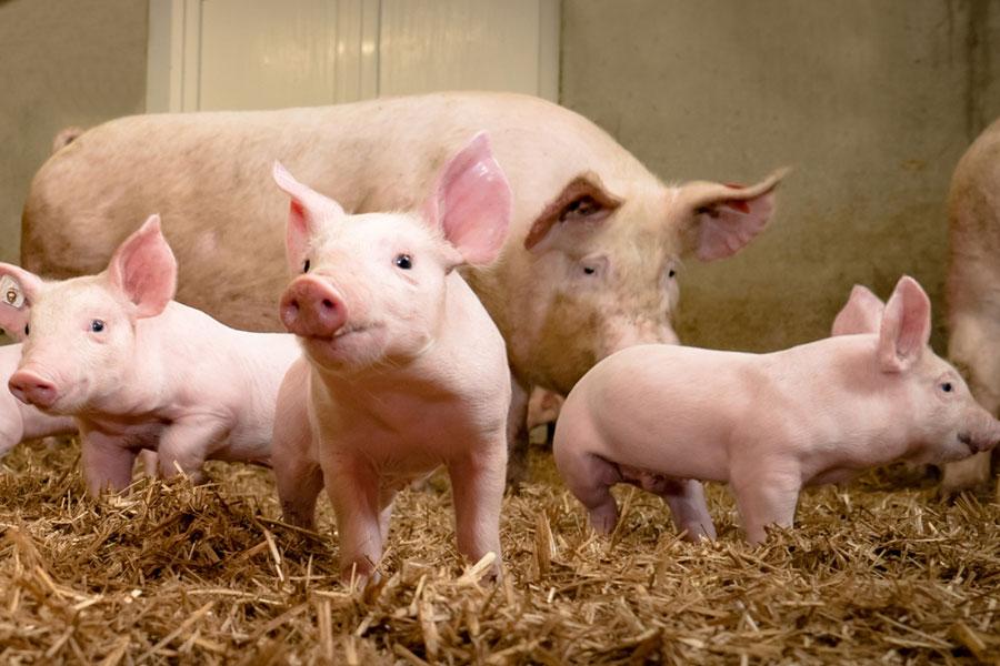 Ferkel-Kastration gänzlich ohne Tierrechte in Deutschland