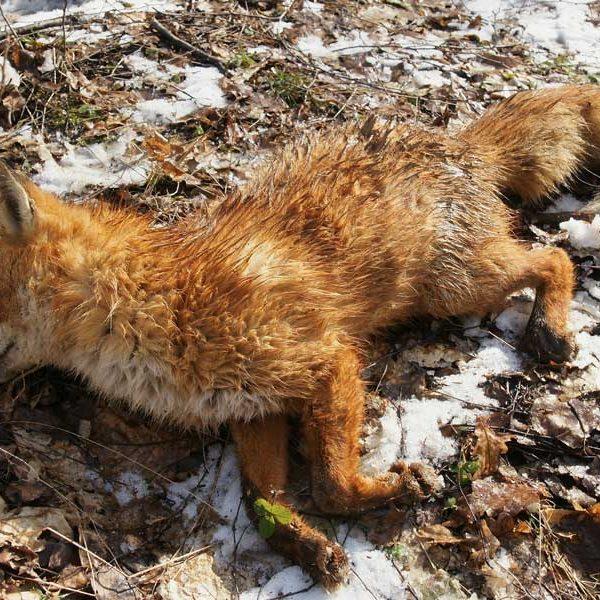 toter Fuchs | Unser Blog rund um die Themen Tierschutz, Tierrechte und Soforthilfe !