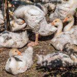 Daunengewinnung | Tierrechte Unser Blog rund um die Themen Tierschutz, Tierrechte und Soforthilfe !