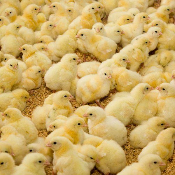 Das Töten von Küken in der Massentierhaltung -Unser Blog rund um die Themen Tierschutz, Tierrechte und Soforthilfe !