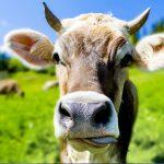 Hornkühe in Deutschland: Anpassung der Kühe an den Stall - Unser Blog rund um die Themen Tierschutz, Tierrechte und Soforthilfe !