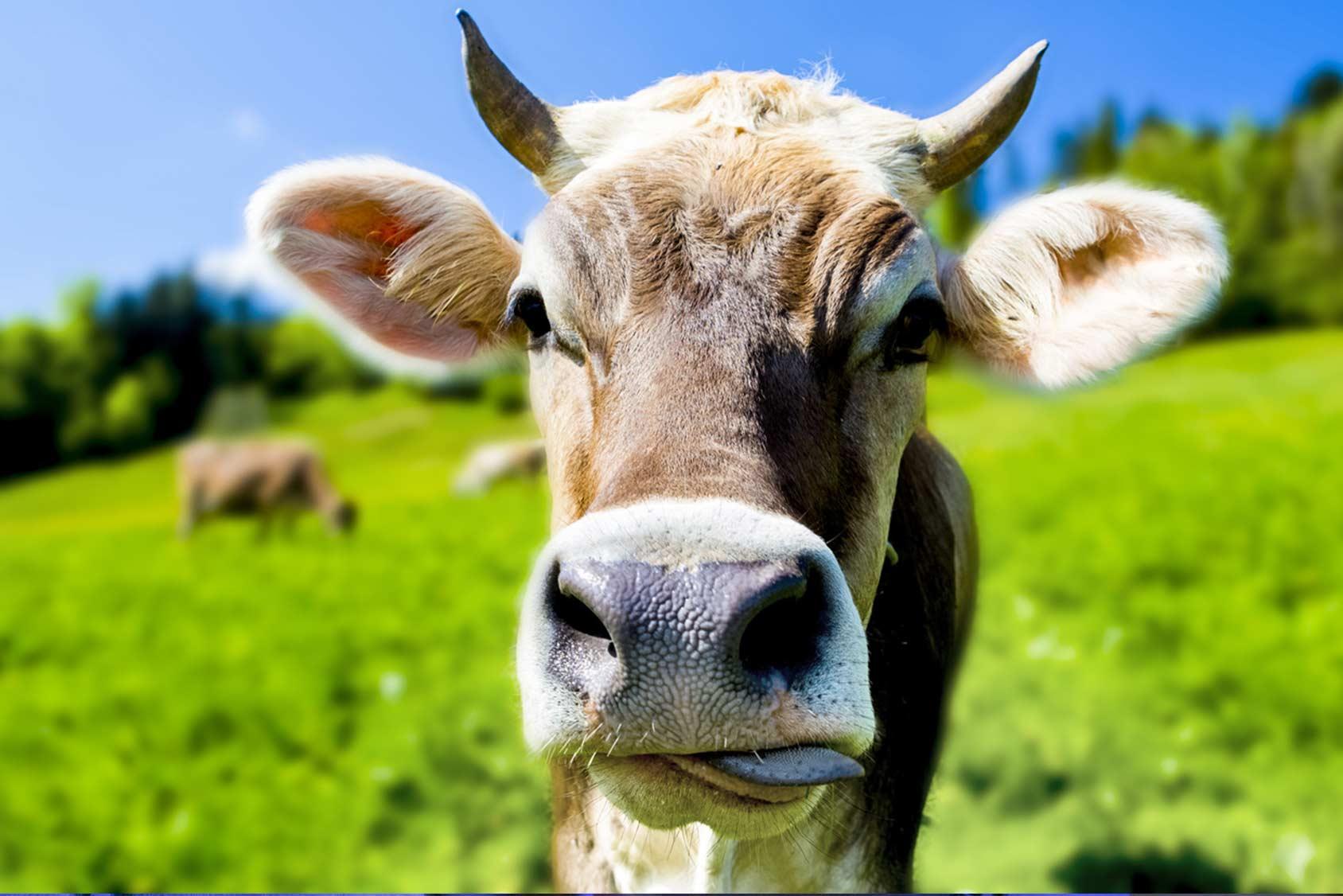 Hornkühe in Deutschland: Anpassung der Kühe an den Stall