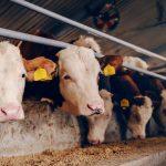 Kranke Milchkühe in Deutschland - Unser Blog rund um die Themen Tierschutz, Tierrechte und Soforthilfe !