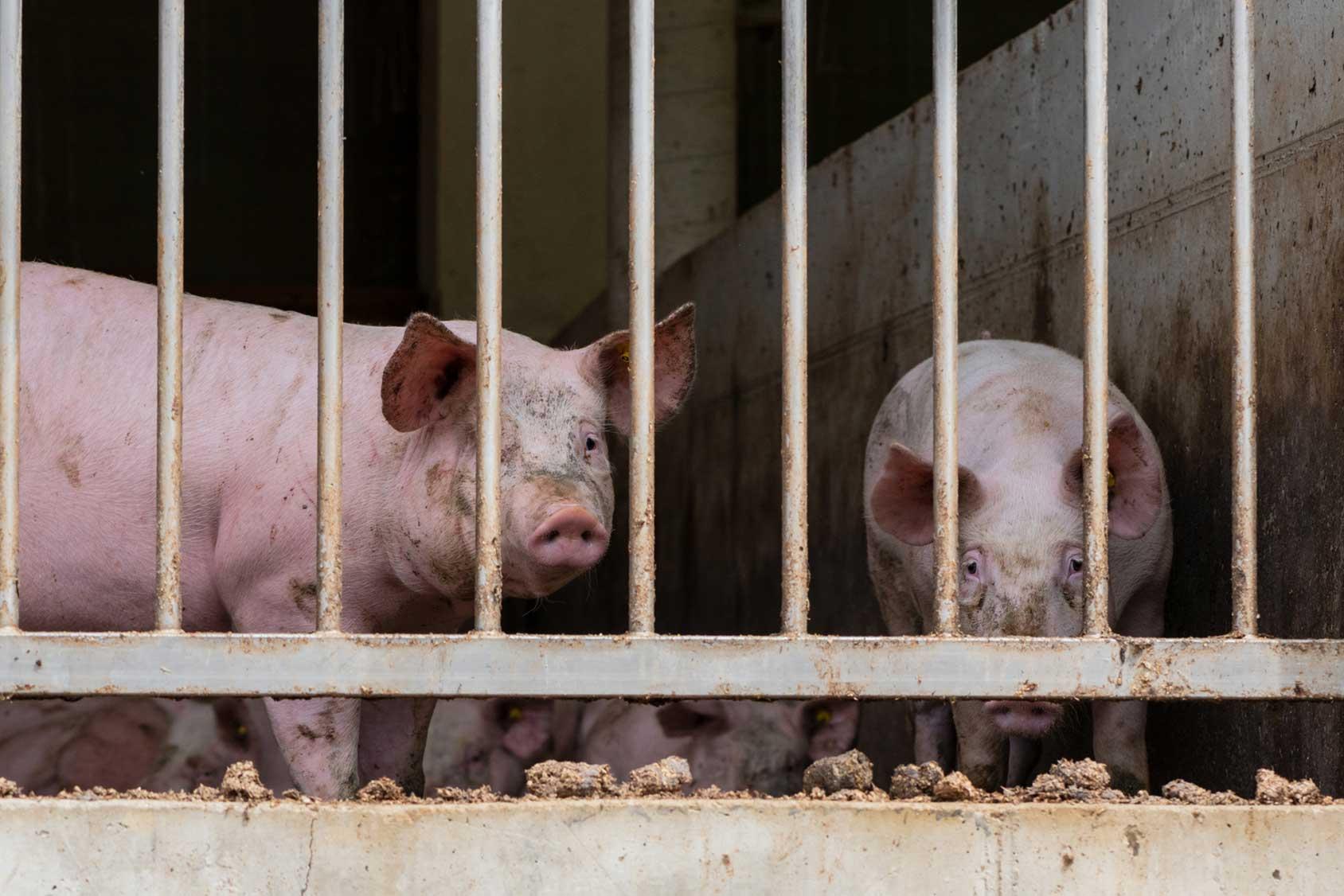 Tiertransporte ohne Rücksicht auf Tierrechte