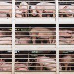 Tierwohllabel für Schweine| Karin von Grumme-Douglas Stiftung | kvgd-stiftung.de