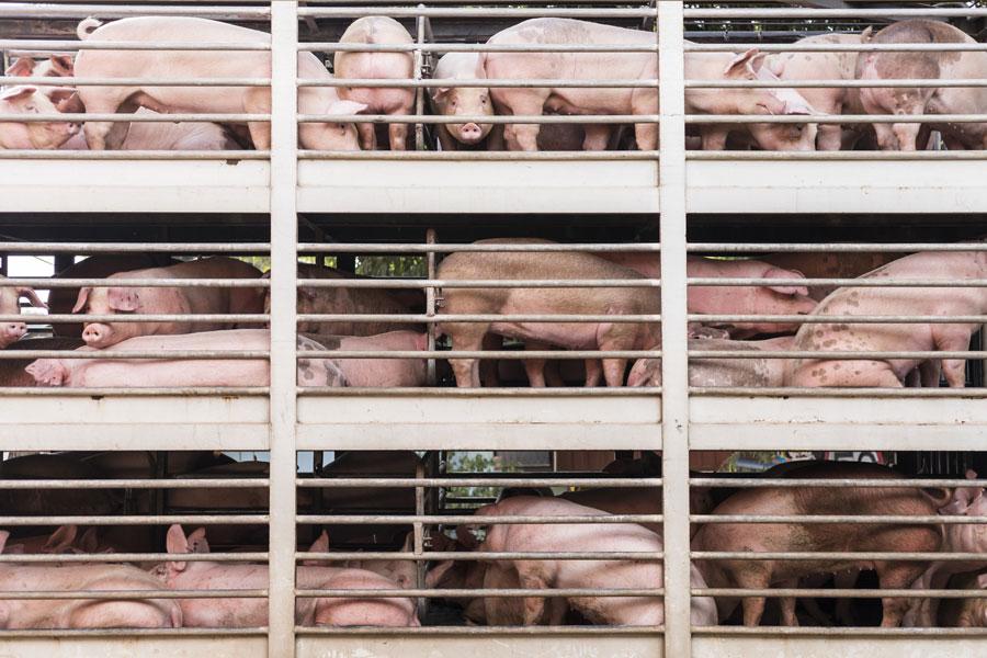 Das neue Tierwohllabel: Bringt es eine Verbesserung für den Tierschutz?