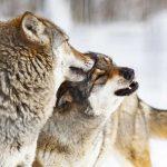 Zum Abschuss freigegeben: Die Situation der Wölfe in Deutschland - Unser Blog rund um die Themen Tierschutz, Tierrechte und Soforthilfe !