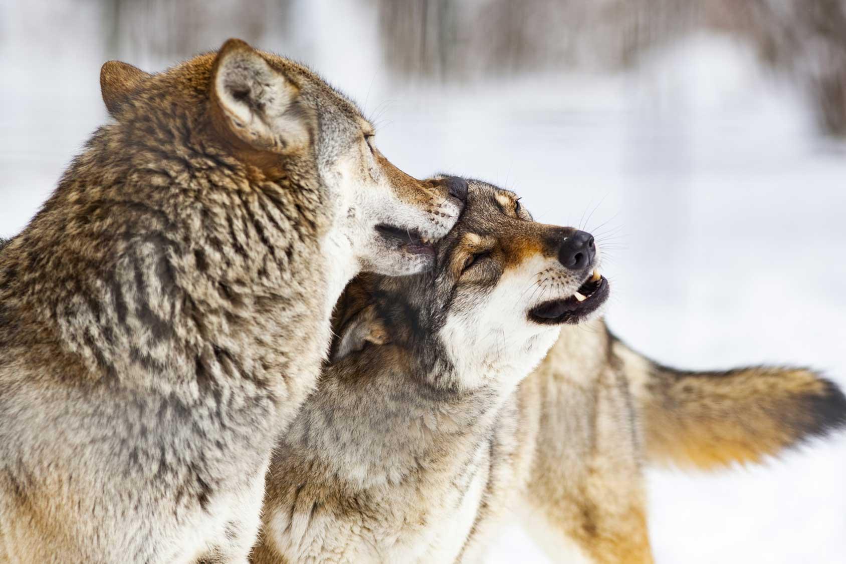 Zum Abschuss freigegeben: Die Situation der Wölfe in Deutschland